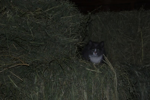 Introducing gato numero cuatro! (that's cat number four). Sox. He likes the hay in the barn.